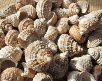 Seashells- TURBAN Shells *50 pcs!* Perfect for Coastal Decor, Beach Decor, Nautical Decor, Florida