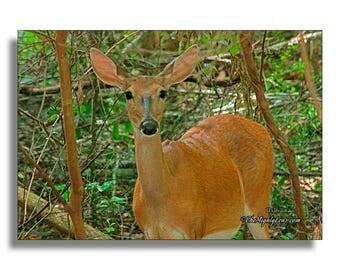 Woodland Doe {Photography} for Framing, Greeting Cards, and Postcards