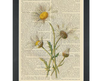 Daisy vintage botanical drawing Dictionary Art Print