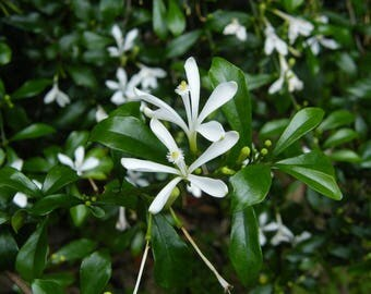 Turraea obtusifolia / 15 seeds