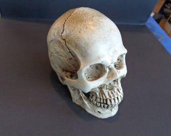 human skull in 1/2, 10cms