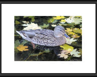 This Duckling is enjoying the fall weather, Photography, Free Shipping, Print, Framed Print, Canvas Wrap, Framed Canvas, Wall Art, Home Deco