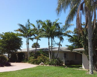 Live Montgomery Palm Trees (1 Gallon, 2 to 3 Feet Tall Right Now!!!)