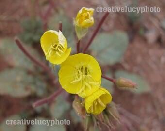 Yellow Spring Flower Death Valley Golden Evening Primrose Custom Photo Print