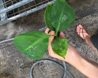 Musa 'Dwarf Green' Banana Plug (1)