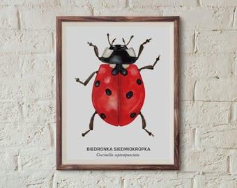 Biedronka siedmiokropka, Ladybird (Coccinella septempunctata) - illustration - print