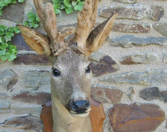 A Very Good French Taxidermy Hunting Trophy Male Deer Head With Antlers In Velvet