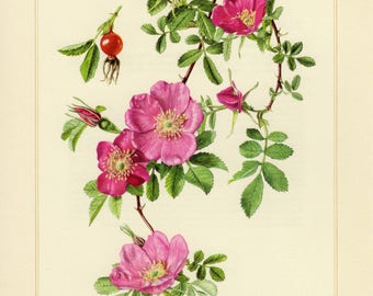 Vintage lithograph of cinnamon rose from 1959