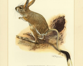 Vintage lithograph of the great jerboa from 1956