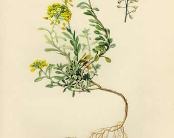 Vintage lithograph of the alyssum montanum from 1955