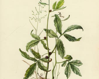 Vintage lithograph of the coralroot bittercress, coral-wort or coral-root from 1955