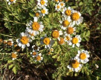 Feverfew Tincture, Tanacetum parthenium organic herb