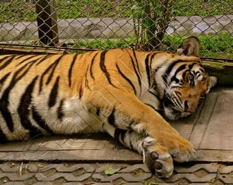 Asian Tiger - Instant Download