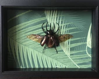 Huge framed taxidermy rhino beetle