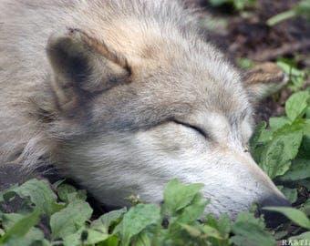 Sleeping Wolf Poster Version 1