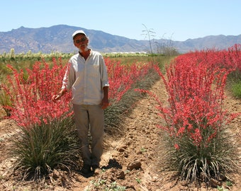 Seed - Red Yucca, Coral Yucca, Hesperaloe parviflora, Texas Red Yucca,