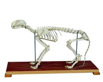 cat skeleton model for class circa 1950
