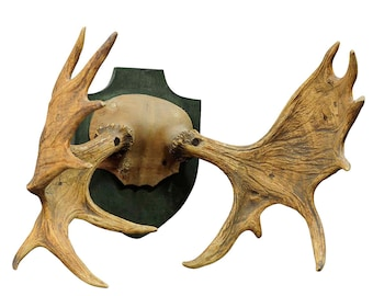 large elk trophy from a noble estate, Germany ca. 1930