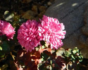 Pink Chrysanthemums Photograph