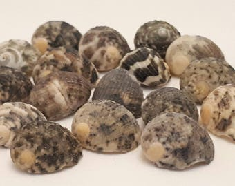 A2 - set of 17 shells from 13 to 17 mm non pierced - ideal for any creation