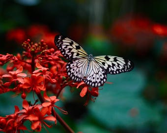 White Butterfly Digital Print