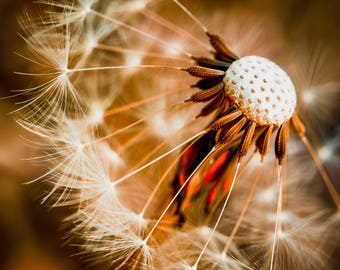 Portrait of a Dandelion, Nature Photography, Macro Photography, Wall Art, Flowers and Macro