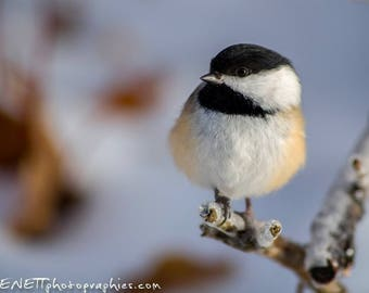 Photography: the black chickadee in size 20 x 27 cm.