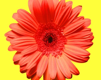 Flower Photography, Red Gerber daisy, Wall art, Home decor, Girls bedroom art, Print, Fine art, Digital download, baby girl, Flower art,