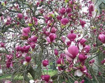 LIVE PLANT -- Magnolia Soulangeana Lennei - Magnolia Lennei