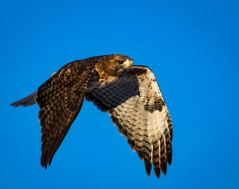 Cruising Red Tailed Hawk.