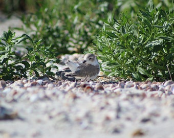 Piping Plover Chick - Digital Download - Instant