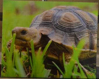 Vivacious Centrochely Zoological Glossy Art Décor