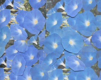 50...Heavenly Blue ... morning glory seeds ... ready for spring 2018 planting season ... check - out free seeds ...