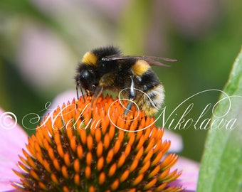 Bee Photography Daisy Photography High Resolution Echinacea Digital Photo Nature Wall Art Home Floristic Decor Instant Download