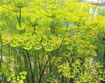 Fennel- Foeniculum Vulgare Florence- 200 seeds