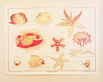 Clam and Starfish  Anatomical   Classroom Teaching Chart  Zoology  Teaching Chart