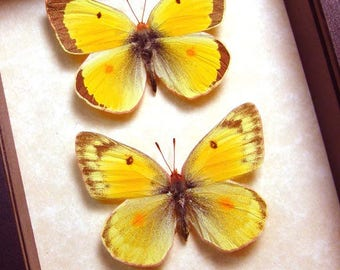 Real Framed Colias Philodice Pair Yellow Clouded Sulphur Butterflies 6432