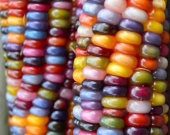 Glass Gem Corn Rate Open Pollinated Seeds Grown to Organic Standards