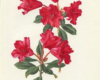 Rhododendron red vintage 1972 Illustration de rhododendron vintage image de fleurs rouges illustration botanique Rhododendron Baden baden