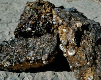 Turitella Agate Lapidary Rough, by the pound