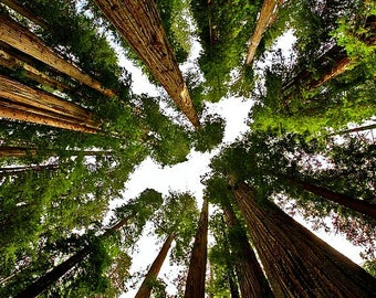Giant Sequoia, 50 fresh seeds, Sequoiadendron, giganteum, worlds oldest tree, zones 6 - 8, drought tolerant, fast grower, natural bonsai