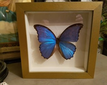 Large blue taxidermy butterfly in frame