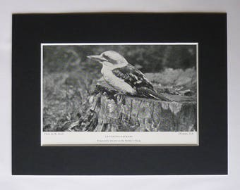 1901 Victorian Matted Australian Ornithology Picture of a Laughing Kookaburra