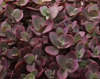 Succulent plant Sedum 'Cherry Tart'