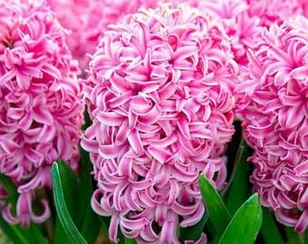 Hyacinth pink seeds, flower, code 582,hyacinth collection, gardening, flower seeds,iakinthos, yakinthos