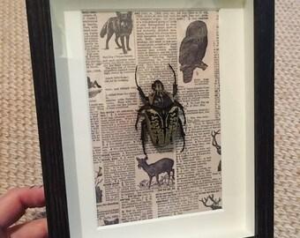 Framed Goliath Beetle