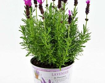 Lavender Plant, Lavender Herb Flowers, Perennial Lavender Plants, A Perfect Housewarming Gift
