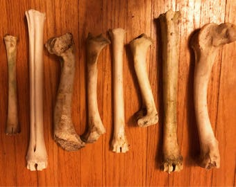 Cleaned Whitetail Deer Bones for craft or display