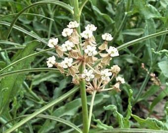 Asclepias linearis Slim milkweed 10 seeds