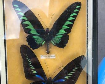 rajah brooke's birdwing butterfly framed